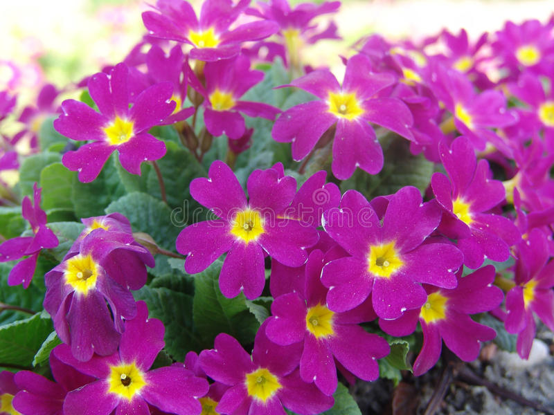 Perennial primrose or primula in the spring garden. Spring primroses flowers, primula polyanthus. Purple primroses in spring woods. Primroses in spring. The stock photos