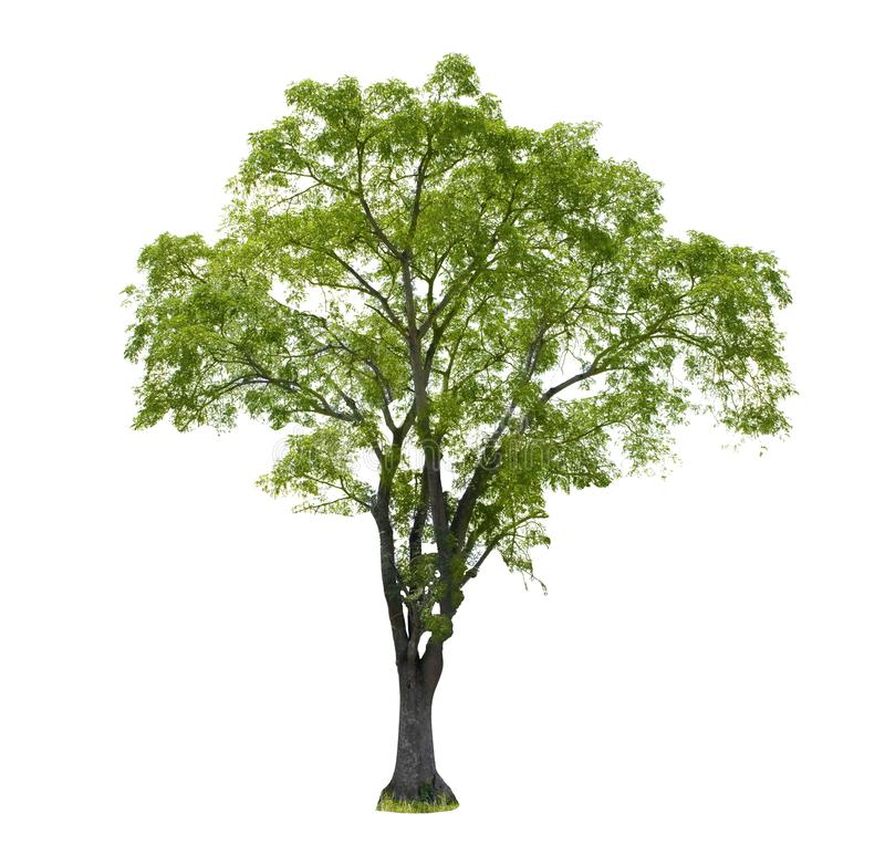 Perennial tree set of Thailand no.07 isolated on white background. Single tall perennial tree with many branches and leaves, natural tropical plant for shadow stock photography
