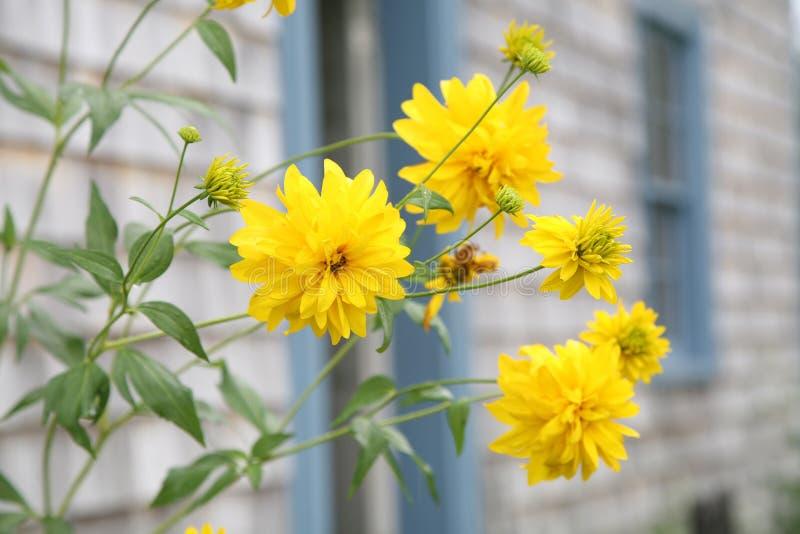 Perennials amarelos imagem de stock royalty free