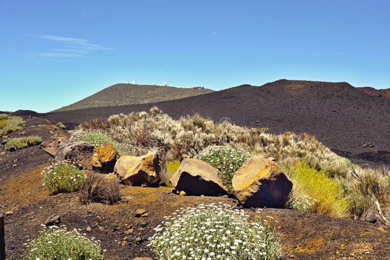 Perennials amarelos de florescência e marguerites brancos na frente de uma montanha preta da lava foto de stock