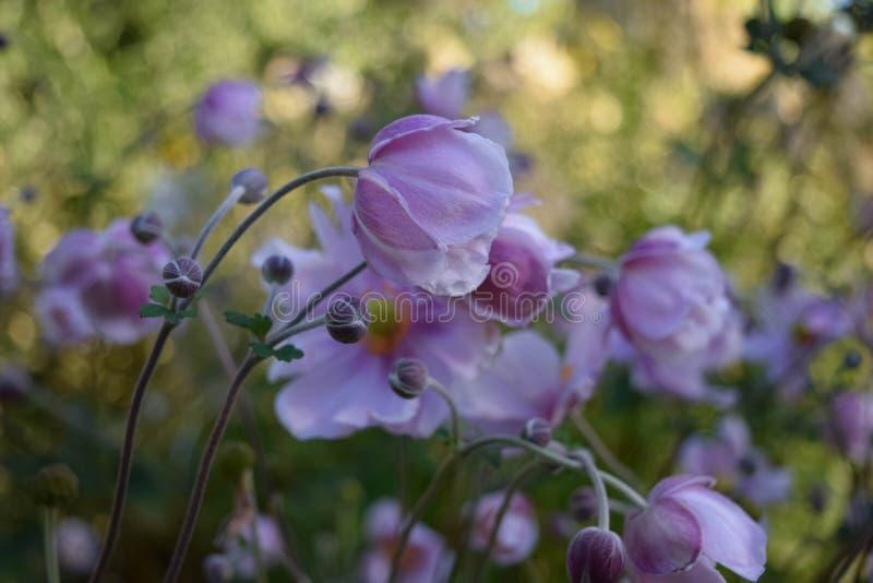 Perennials japoneses de la planta de los windflowers imágenes de archivo libres de regalías