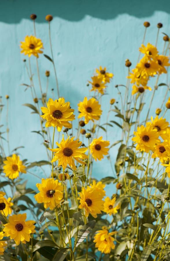 Perennials sunflowers stock photo