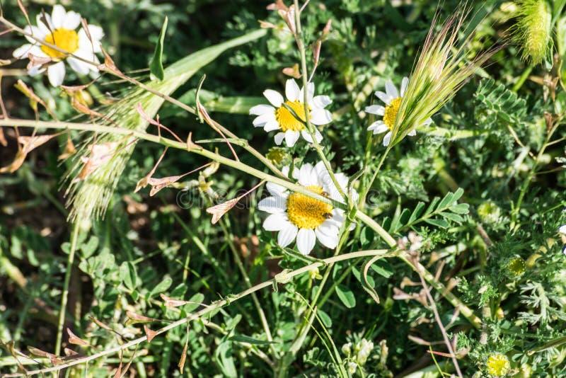 Perennis Bellis маргаритки на траве стоковая фотография rf