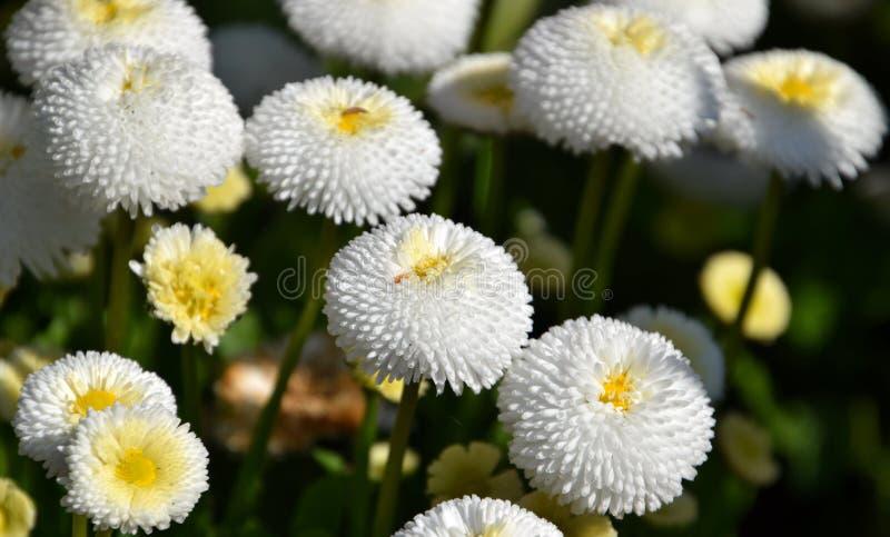 Perennis bianchi, primo piano inglese del Bellis della margherita in giardino soleggiato fotografia stock libera da diritti