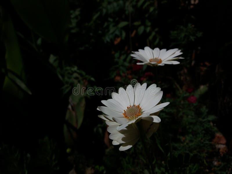 Perennis blancos y beuty del Bellis foto de archivo