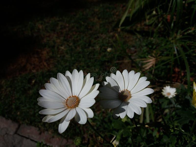 Perennis blancos y beuty del Bellis imagen de archivo