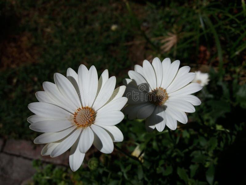 Perennis blancos y beuty del Bellis imagen de archivo libre de regalías