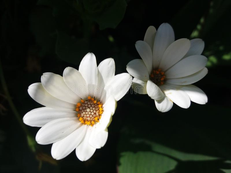 Perennis blancos y beuty del Bellis foto de archivo libre de regalías