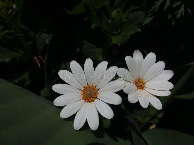 Perennis blancos y beuty del Bellis fotos de archivo