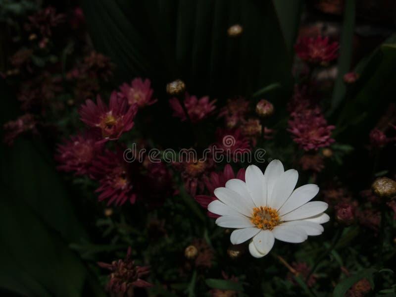 Perennis blancos y beuty del Bellis con el crisantemo fotos de archivo