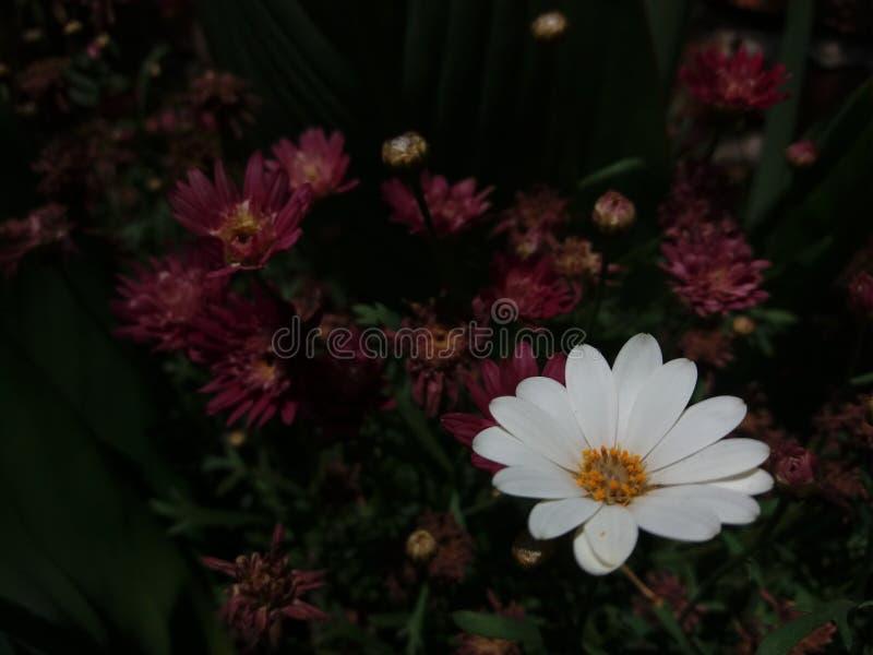 Perennis blancos y beuty del Bellis con el crisantemo fotografía de archivo