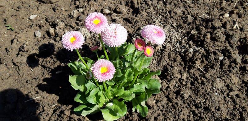 Perennis rosados del bellis imagen de archivo