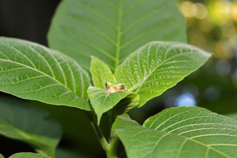 Perereca verde sobre folhas verdes imagens de stock royalty free