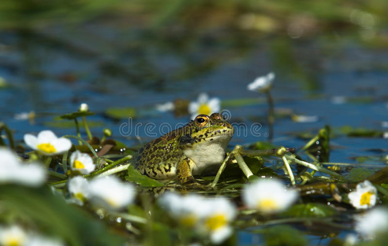 Perez's Frog 4. Perez's Frog (Pelophylax perezi) is a species of frog in the Ranidae family. It is found in southern France, Portugal, Spain, and two sites in royalty free stock photos