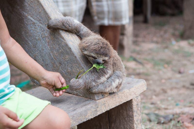 Pereza que come la planta verde de la mano de los childs imagenes de archivo