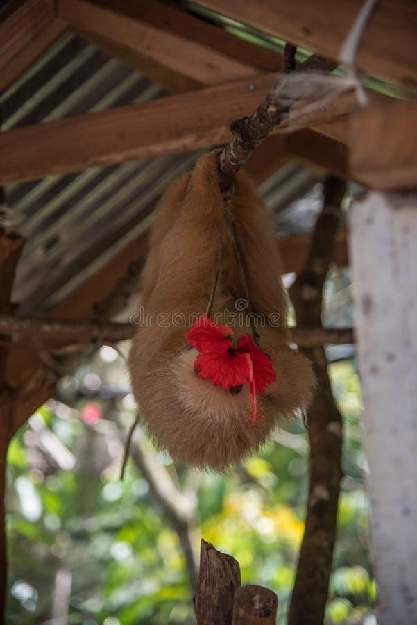 Pereza que come una flor Costa Rica - Cahuita fotografía de archivo libre de regalías