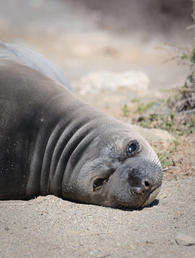 Perezoso, regordete, perrito del león de mar, Baja, México foto de archivo
