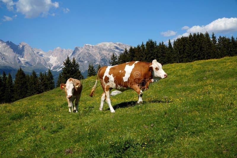 Perfeccione el paisaje idílico de la montaña con la vaca/la hierba verde/montañas y un cielo azul imagenes de archivo