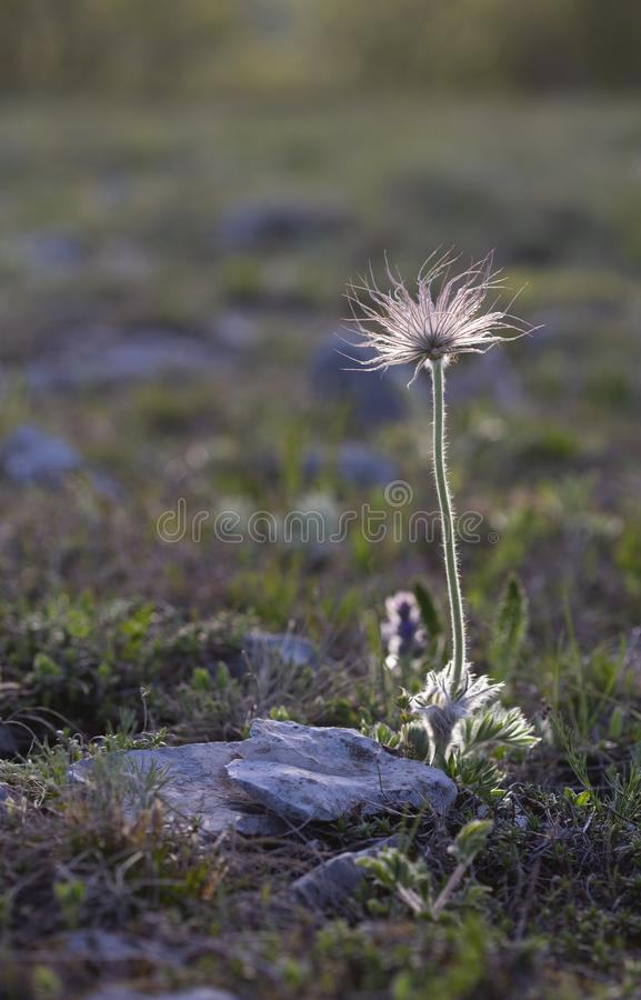 Perfect anemone, Pulsatilla taurica, Ranunculaceae, solitary wild meadow mountain flower in spring royalty free stock photo