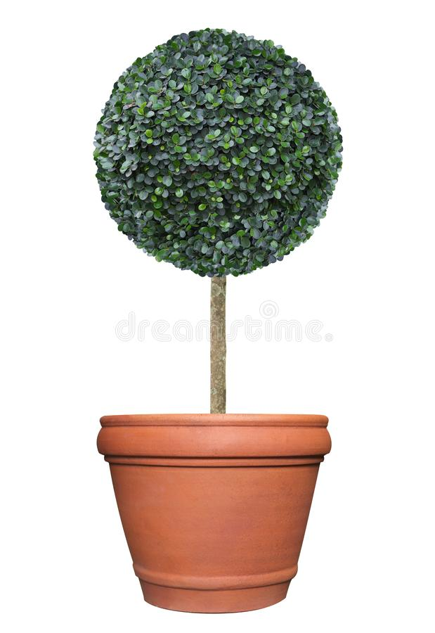 Perfect circle pom-pom shape clipped topiary tree in terracotta clay pot container isolated on white background for formal Japanes royalty free stock image
