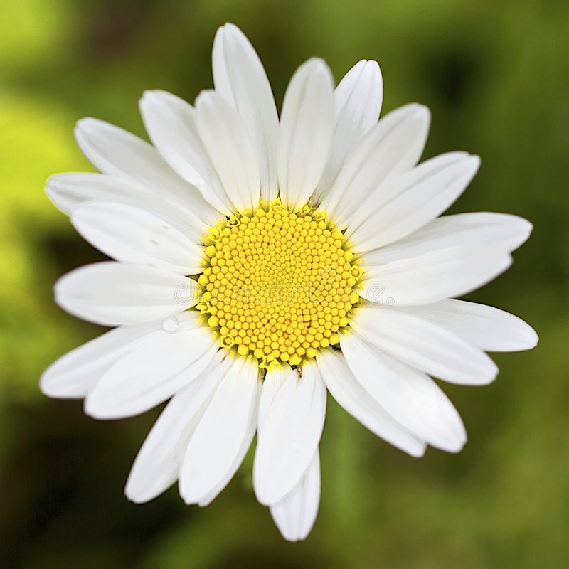 Download Perfect daisy stock image. Image of symmetry, head, blooming - 6429631
