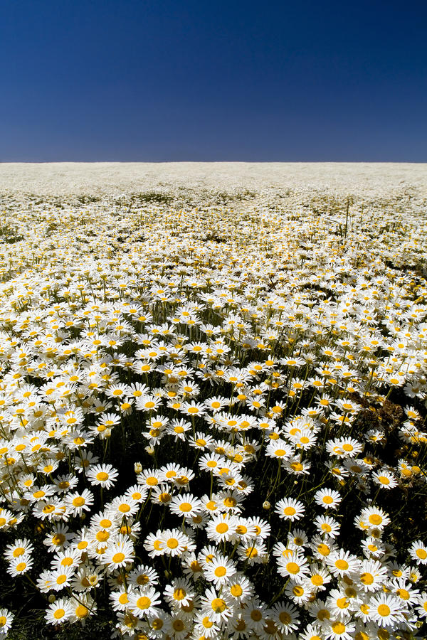 Perfect Daisy Field. A perfect field of white daisy's under a blue sky royalty free stock images