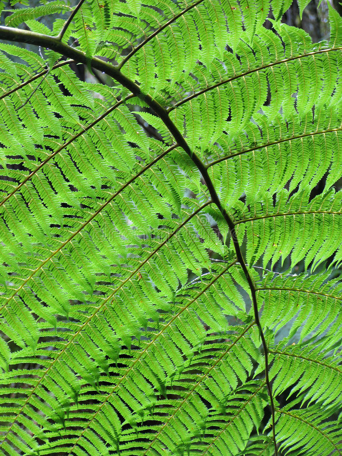A perfect fern leaf. This is a leaf of a punga fern in New Zealand. Lovely flowing shape stock image