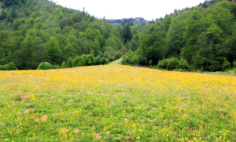 Perfect flowers meadow in trees mountain. In Pyrenees Anso valley stock photos
