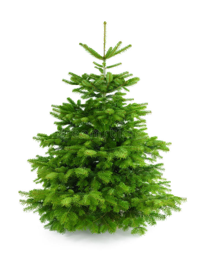 Perfect fresh Christmas tree without ornaments royalty free stock images