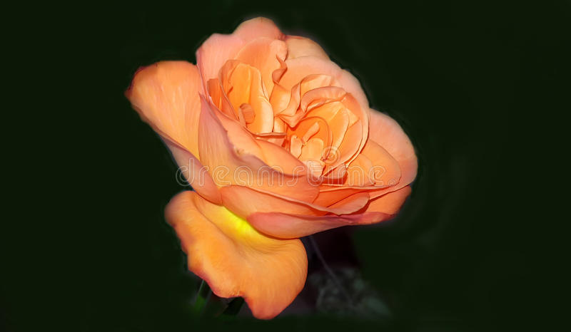 Perfect fresh orange rose stock photo