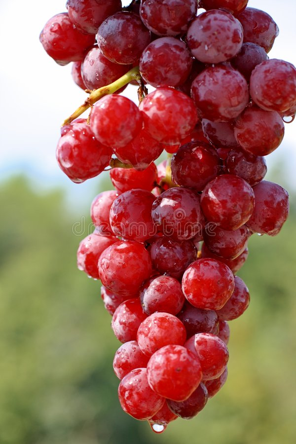 Perfect Grapes royalty free stock photos