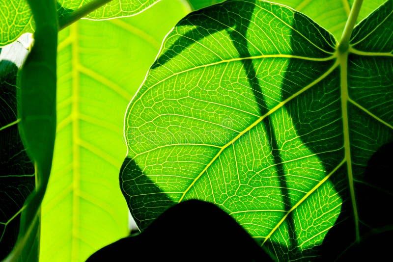 Perfect green bo leaf texture. Closeup stock image
