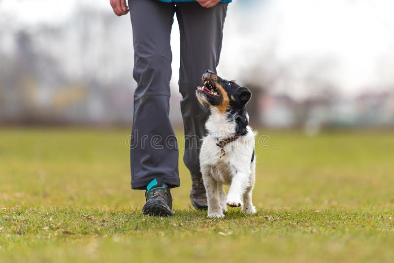 Perfect heelwork with a obedient Jack Russell Terrier dog. Sport. Woman is going for a walk with an attentive obedient dog in a park stock photo