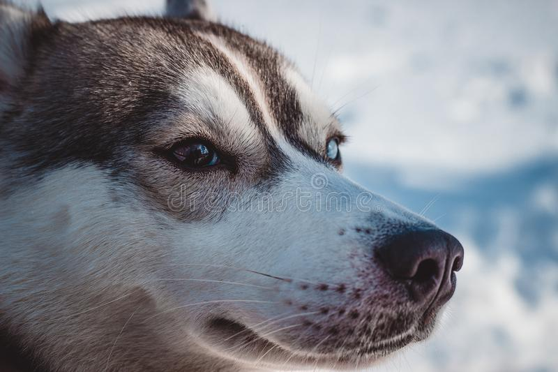 Perfect husky with different eye color in winter royalty free stock photo