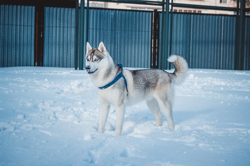 Perfect husky with different eye color in winter stock photos