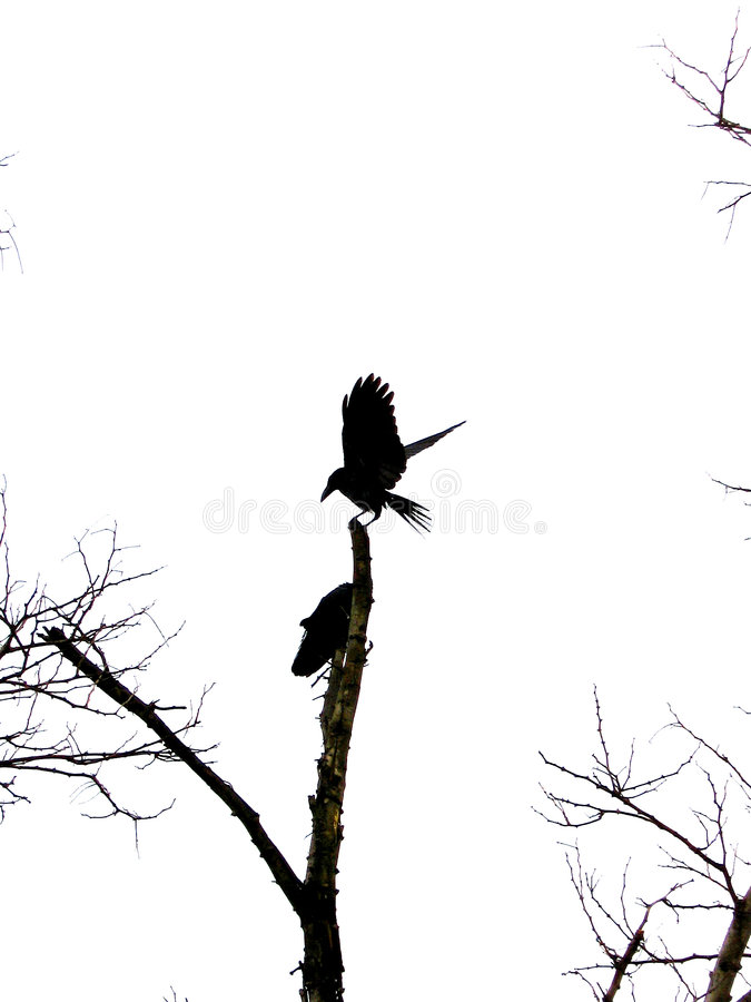 Perfect Landing. A crow caught by the lens at a perfect landing pose stock photos