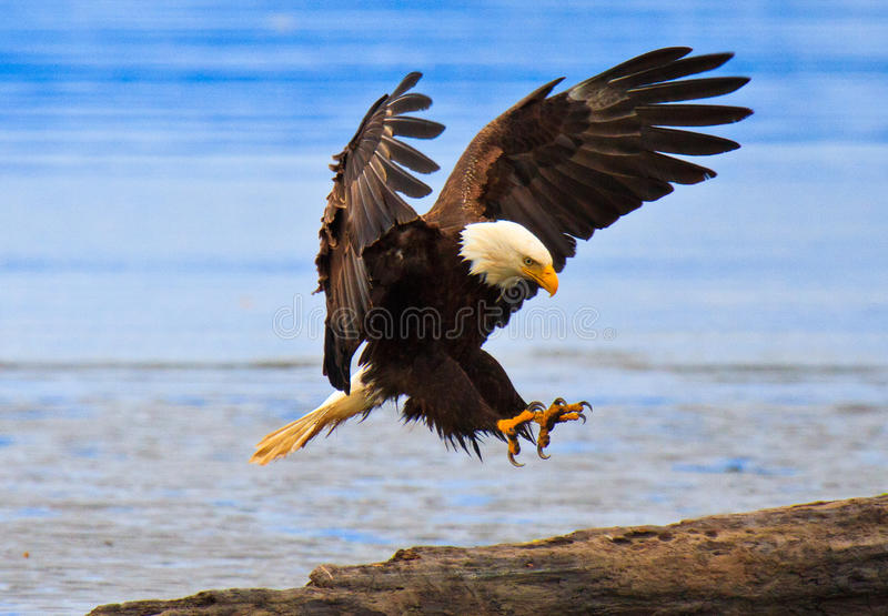 Perfect Landing, Bald Eagle, Alaska Royalty Free Stock Image
