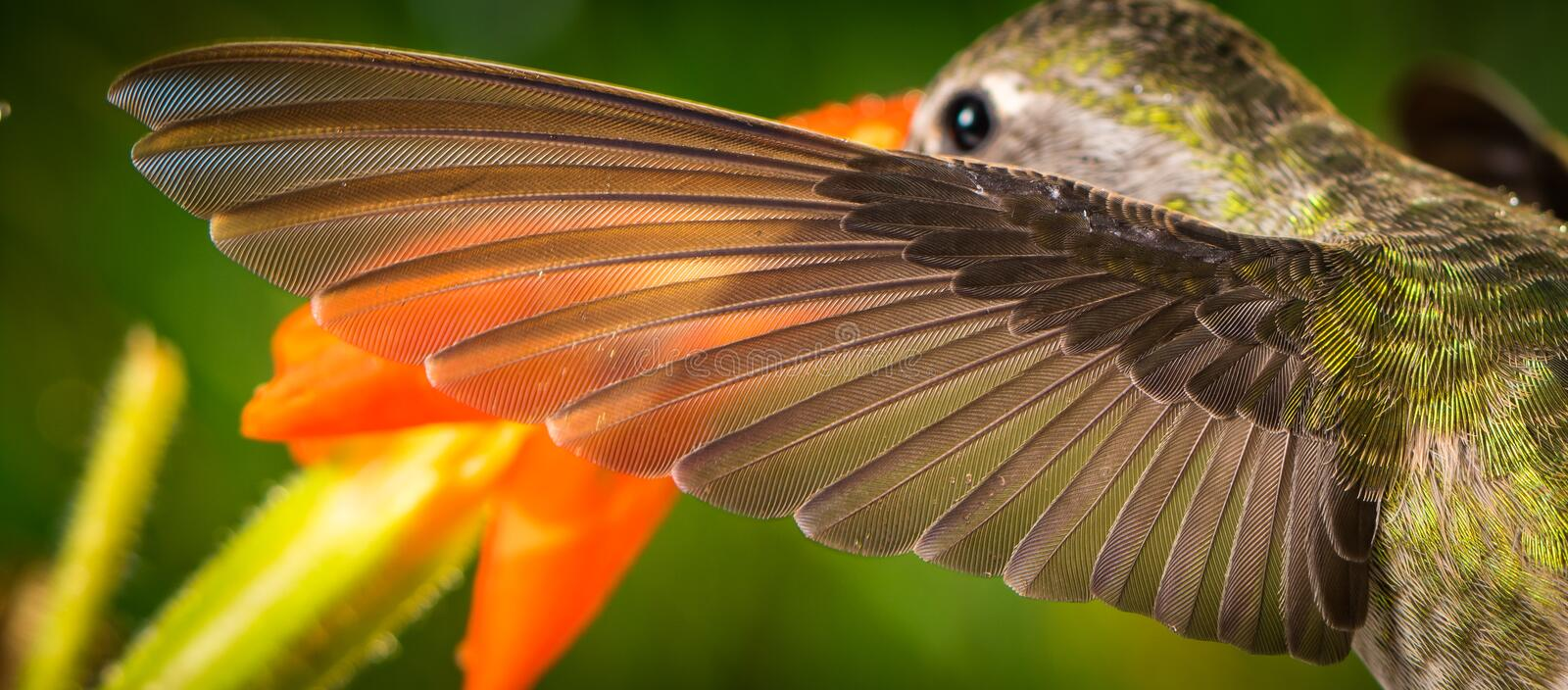 The perfect left wing of a hummingbird. This is a photograph of the perfect left wing of a hummingbird royalty free stock images