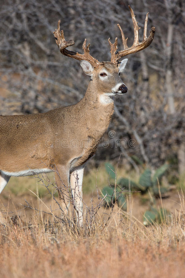 Download Perfect Lighting On Whitetail Buck In Vertical Photograph Stock Image - Image of glands & Perfect Lighting On Whitetail Buck In Vertical Photograph Stock ...