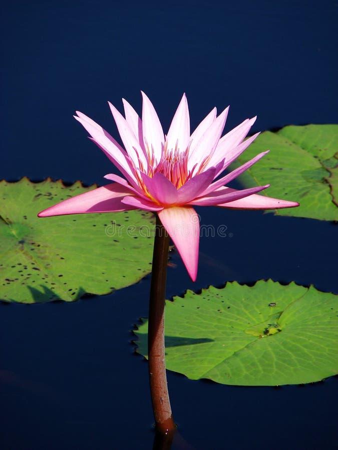 Perfect lotus royalty free stock image