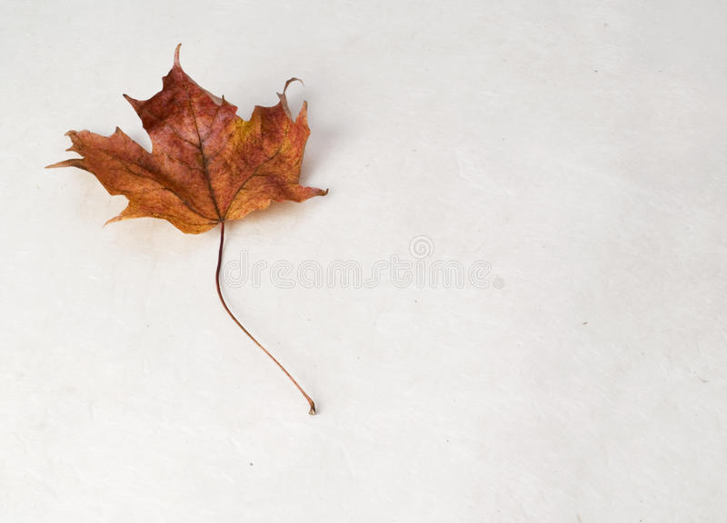Download The Perfect Maple Leaf stock photo. Image of fragility - 13412160
