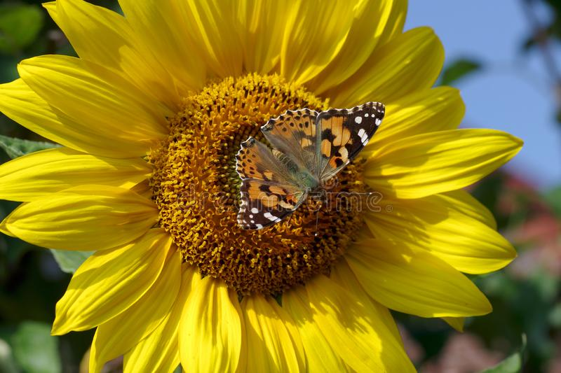 A perfect match, a butterfly on the sunflower royalty free stock photo