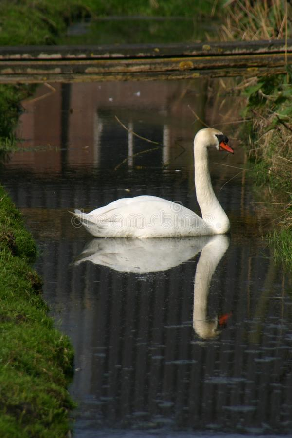 Free Perfect Mirror Swan Stock Photography - 130774662