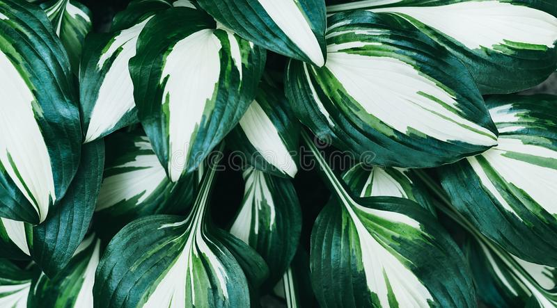 Perfect natural fresh hosta leaves pattern background. Creative and moody backdrop. Top view stock image