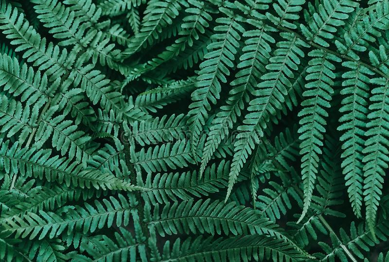 Perfect natural young fern leaves pattern background. Dark and moody feel. Top view. Copy space, beautiful, biology, botanical, botany, bunch, bush stock image
