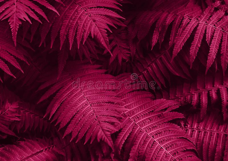 Perfect natural young fern leaves pattern background. Pink dark and moody backdrop for your design. Top view. royalty free stock photo