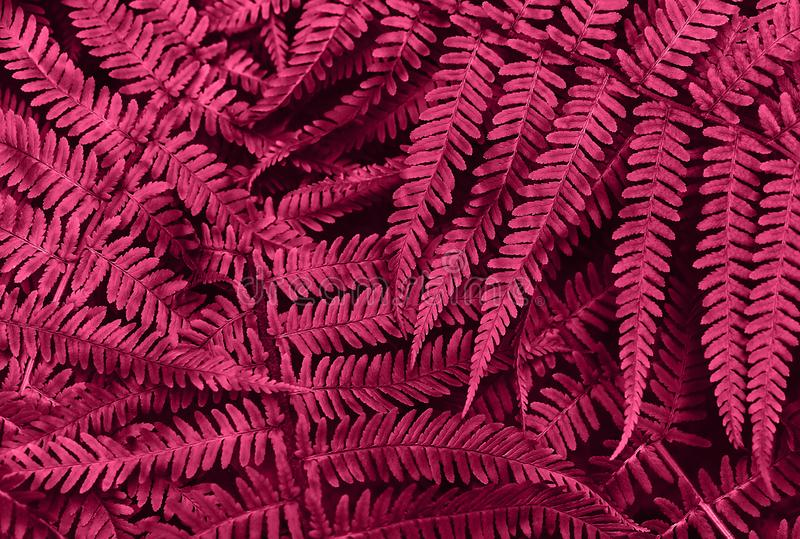Perfect natural young fern leaves pattern background. Pink dark and moody backdrop for your design. Top view stock images