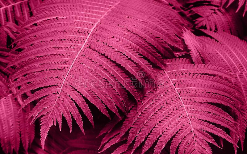 Perfect natural young fern leaves pattern background. Pink dark and moody backdrop for your design. Top view. stock photo