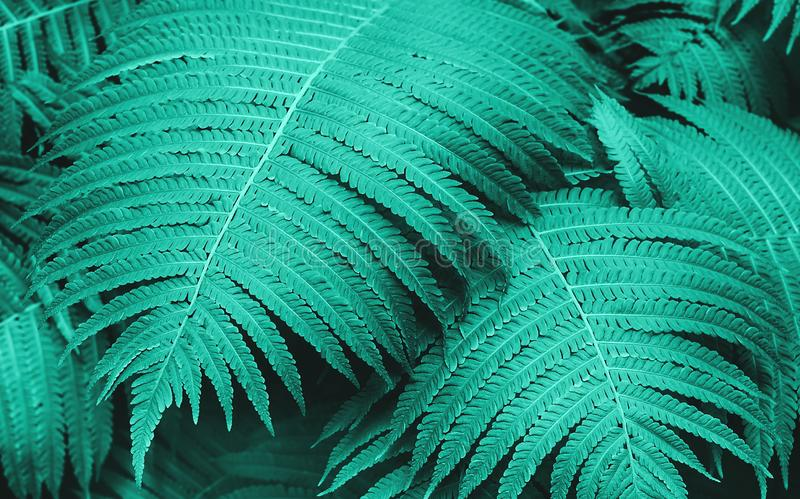 Perfect natural young fern leaves pattern background. Trendy mint backdrop for your design. Top view. royalty free stock photos