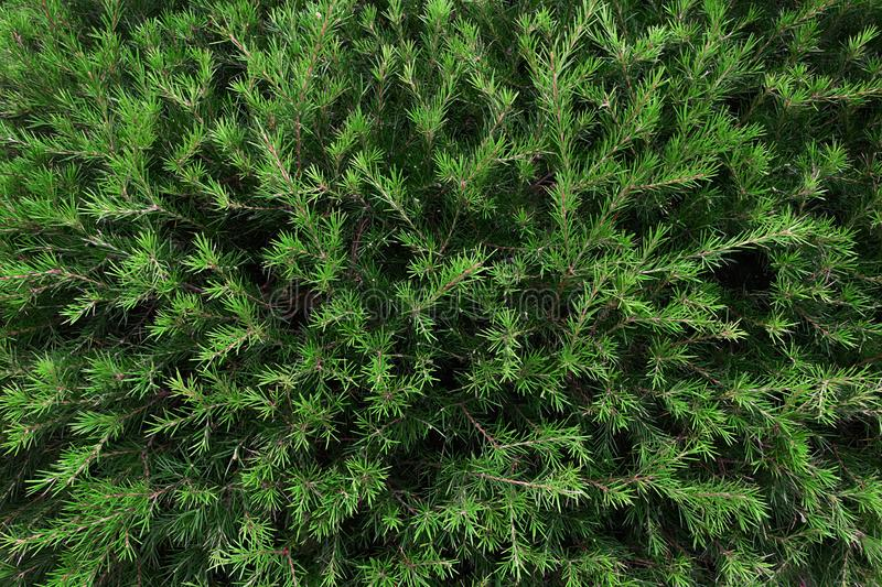 Perfect natural young fir tree pattern background. Dark and moody feel. Top view. royalty free stock photo